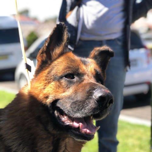 Tekken - German Shepherd Dog