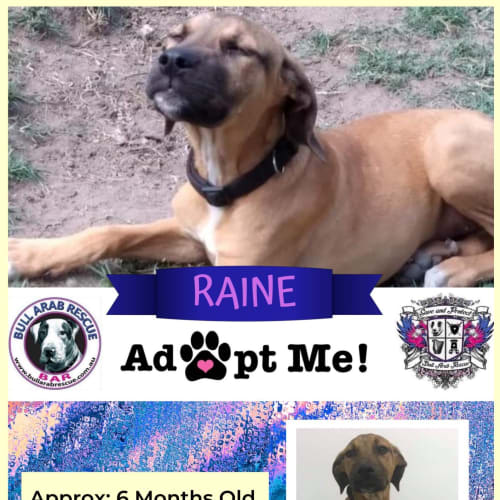 Raine - Bull Arab Dog