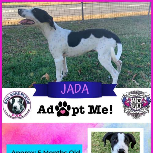 Jada - Bull Arab Dog