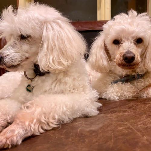 Locky & Scruffy - Poodle Dog