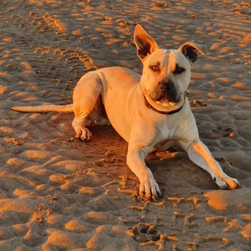 Marvel - Bull Terrier x Mixed Breed Dog