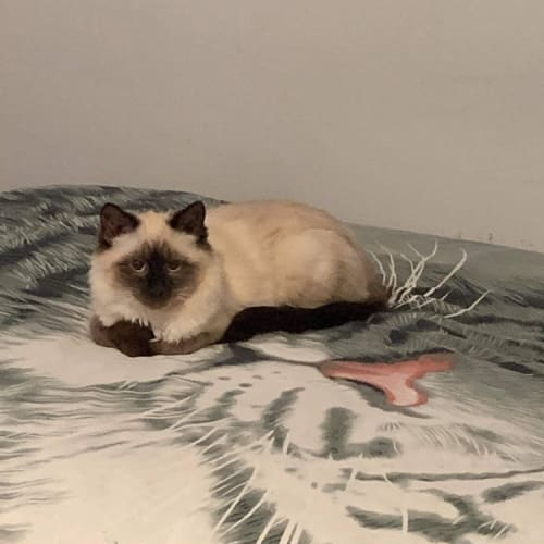 Frankie - Birman Cat