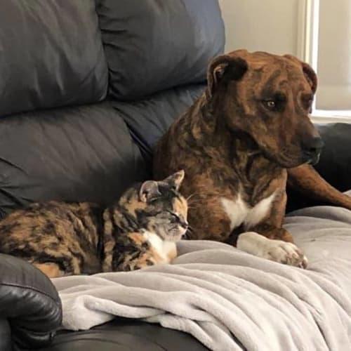 Sadie - Ridgeback x Staffordshire Bull Terrier Dog