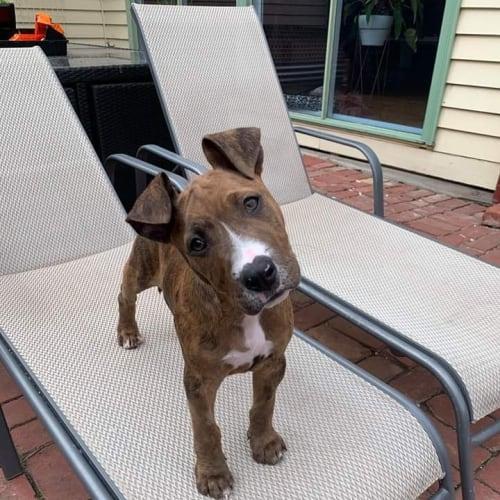 Floyd  - Bull Arab x Staffy x Bull Terrier Dog