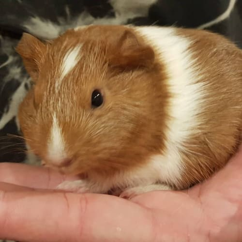 Zander (Brother and Buddy of Chestnut) -  Guinea Pig