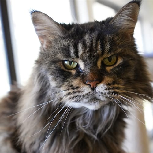 Ismene - Maine Coon Cat