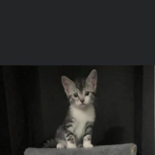 Merlin - Domestic Medium Hair Cat