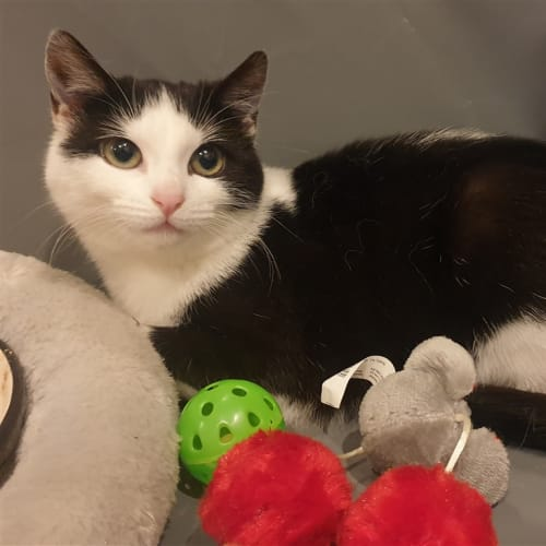 Spring - Available From Foster - Domestic Short Hair Cat