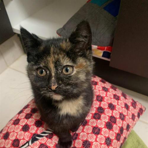 Lucyfurr - Dsh Cat