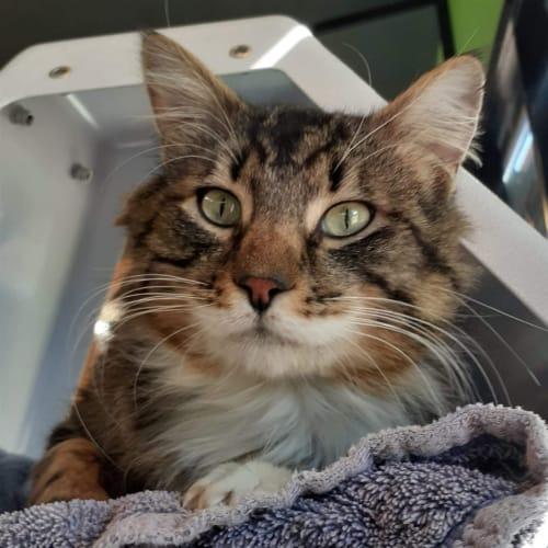 Gerald - Domestic Medium Hair Cat