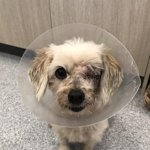 Bubbles - Maltese Terrier Dog