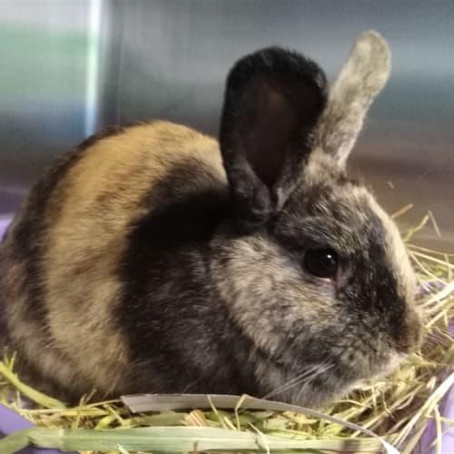 Felicity - Domestic Rabbit