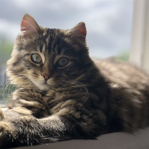 Olive (bonded With Willow) - Domestic Longhair Cat