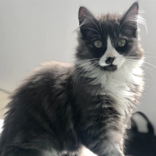 Willow (bonded With Olive) - Domestic Longhair Cat