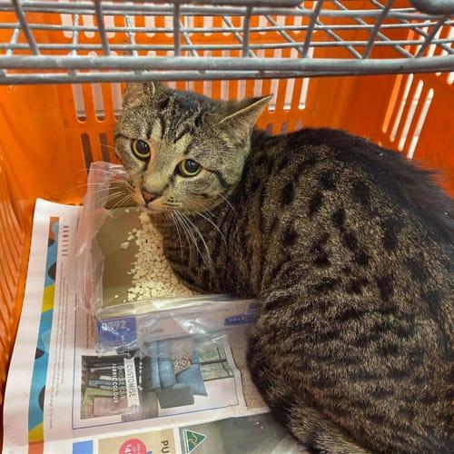 Henderson - Domestic Short Hair Cat