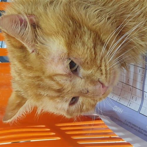 Hershy - Domestic Medium Hair Cat