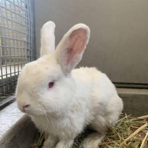 Dale - Mini Lop Rabbit