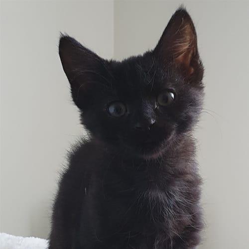 Mishka - Domestic Short Hair Cat