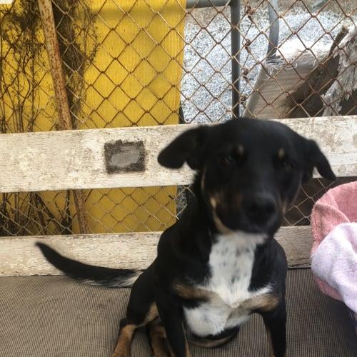 Bella - Kelpie x Cross breed Dog