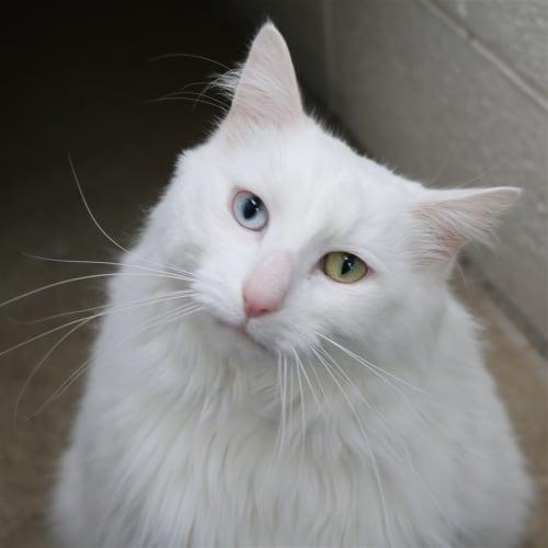 Claude - Domestic Medium Hair Cat
