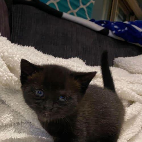 Jumbo - Persian Cat