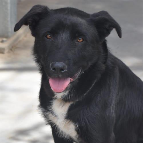 Zoe  - Irish Wolfhound x Kelpie Dog