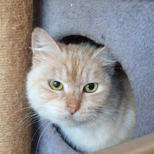Gorgeous Krista - Domestic Medium Hair Cat