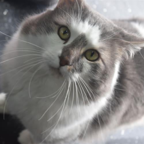 Comet  - Domestic Longhair Cat