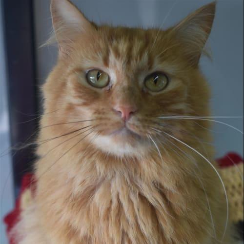 Five - Domestic Medium Hair Cat
