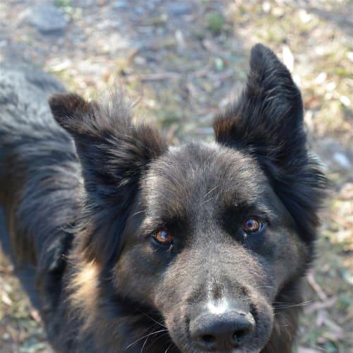 Zeus - German Shepherd Dog