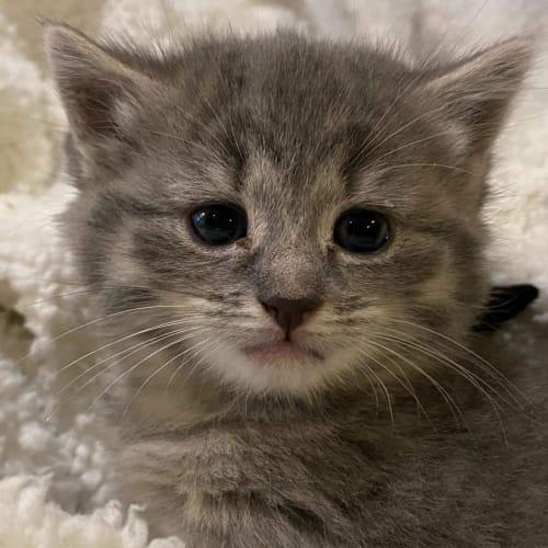 Chubbz - Domestic Medium Hair Cat