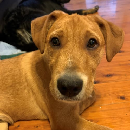 Milo ~ 4mo Old Wolfhound X - Wolfhound Dog