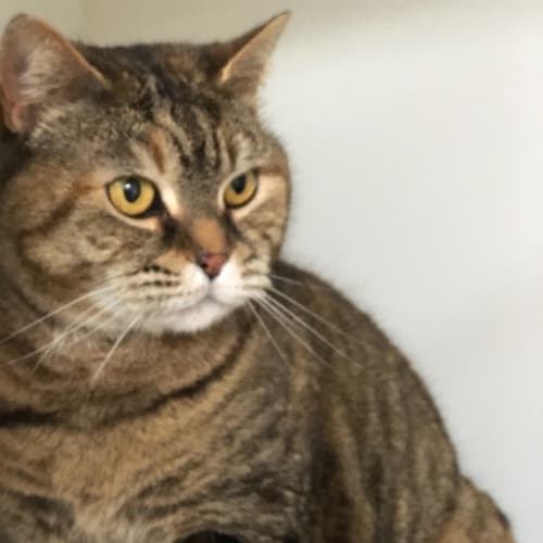 Geraldine - Domestic Short Hair Cat