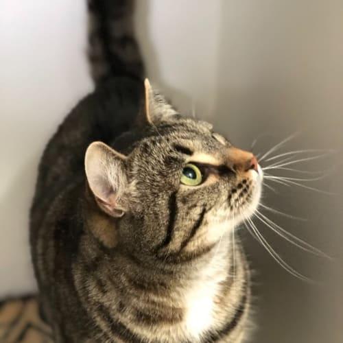 Felicity - Domestic Short Hair Cat