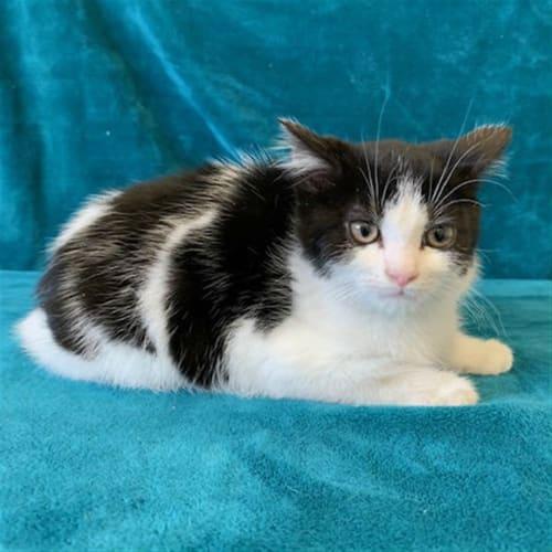 Dale - Domestic Short Hair Cat