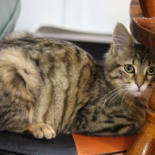 Omi - Domestic Medium Hair Cat
