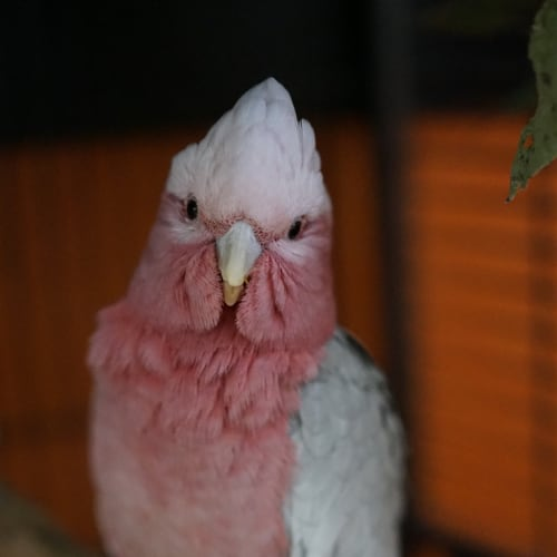 Clancy - Galah Bird