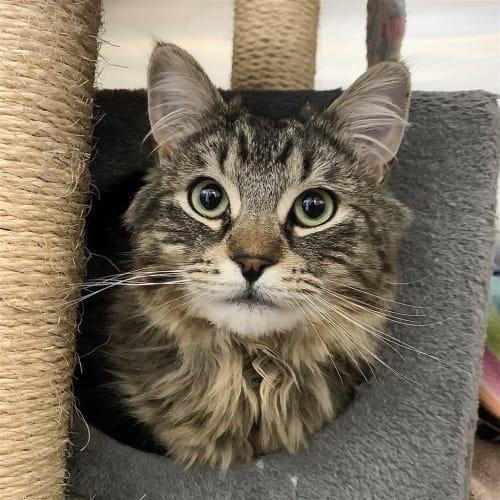 Pongo - Domestic Longhair Cat
