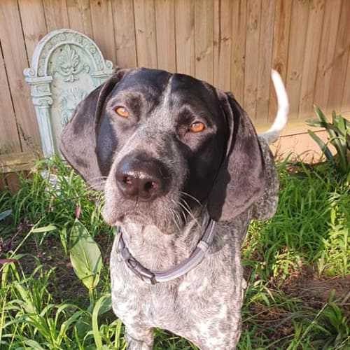 Scooby - German Shorthaired Pointer Dog