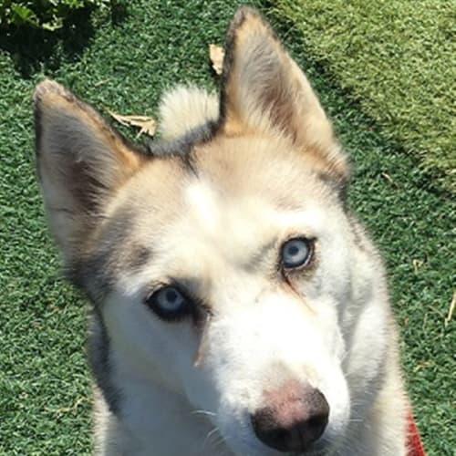 Whitney - Siberian Husky Dog