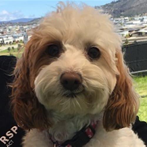 Eevee - Cavalier King Charles Spaniel x Poodle Dog