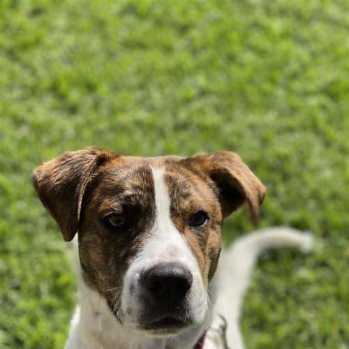 Ty - Boxer Dog