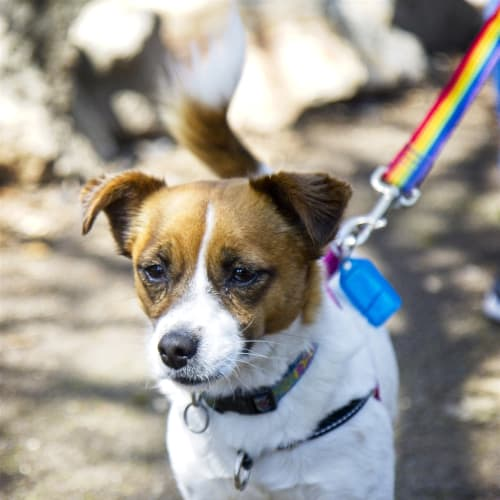Pebbles - Jack Russell Terrier X Dog