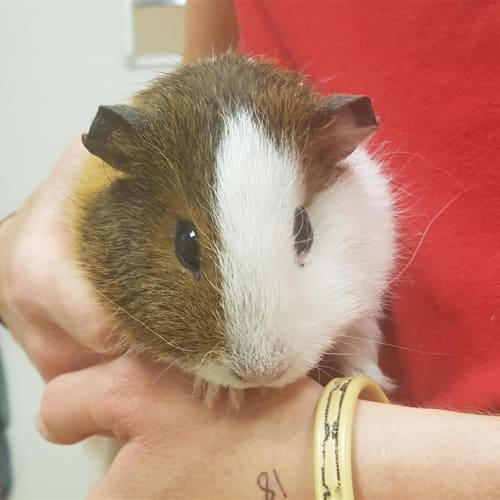 Caramello - Smooth Hair Guinea Pig