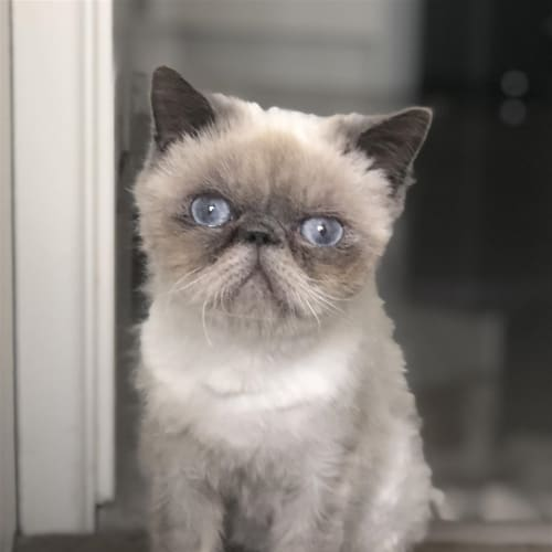 Amir - Persian Cat