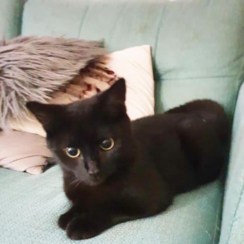 Tate - Domestic Short Hair Cat