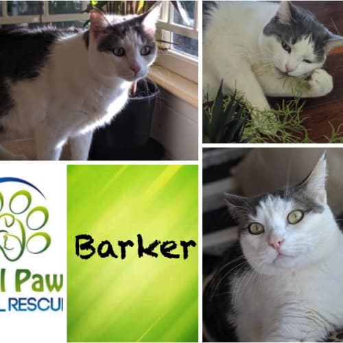 Barker - Domestic Short Hair Cat