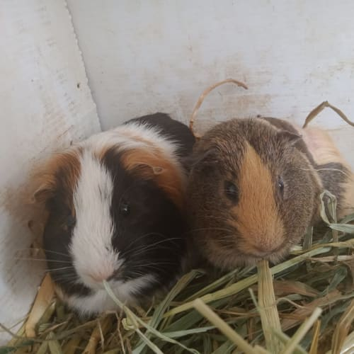Fluffy and Bumble - Peruvian Guinea Pig