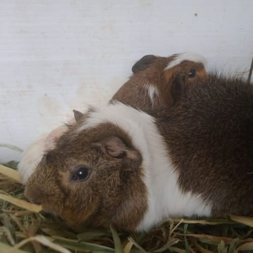 Spike and Tumble - Abyssinian x Smooth Hair Guinea Pig