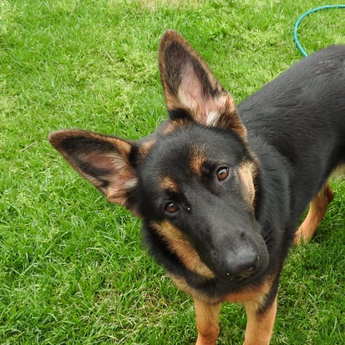 Sydney - German Shepherd Dog